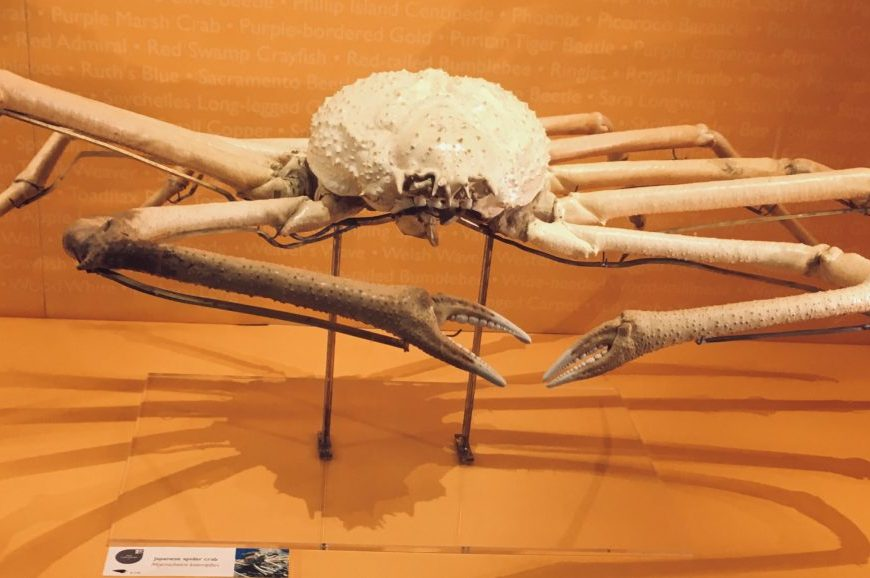 Photograph of the giant spider crab in the Museum of Zoology