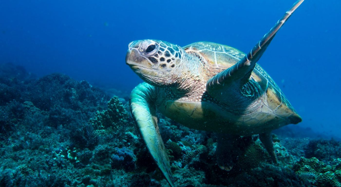 Photograph of a green turtle swimming