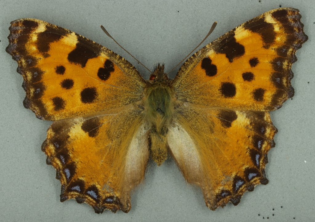 Large tortoiseshell butterfly from Museum of Zoology collection