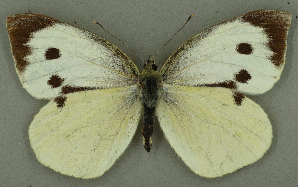 Large white, University Museum of Zoology collection. Copyright University of Cambridge
