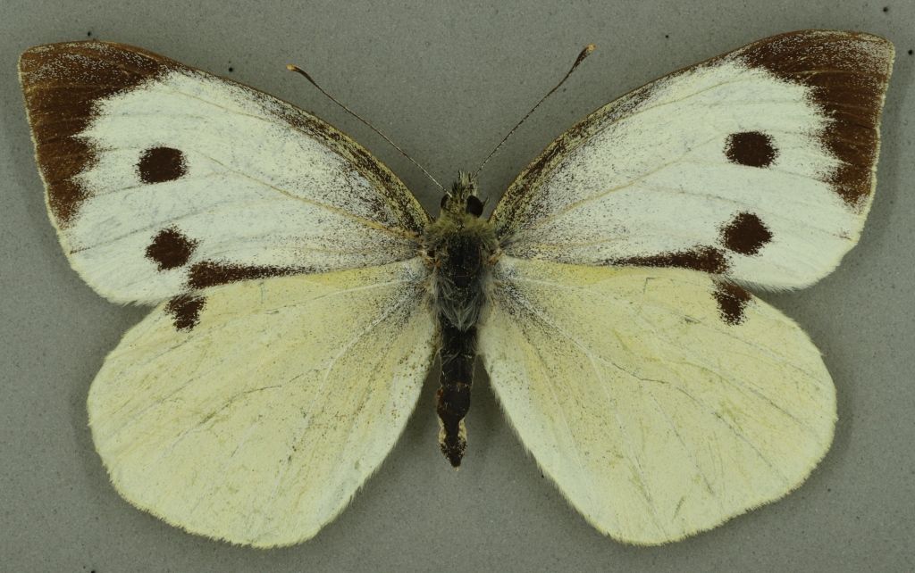 Large white, University Museum of Zoology collection. Copyright University of Cambridge