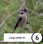 Photograph of a long-tailed tit