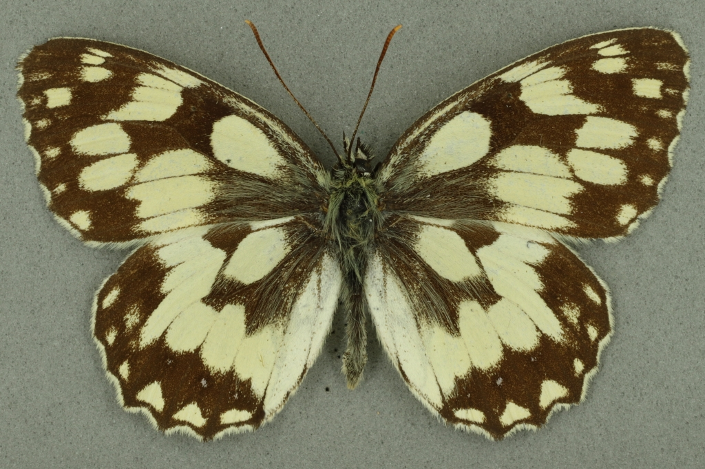 Marbled white. University Museum of Zoology collection. Copyright University of Cambridge