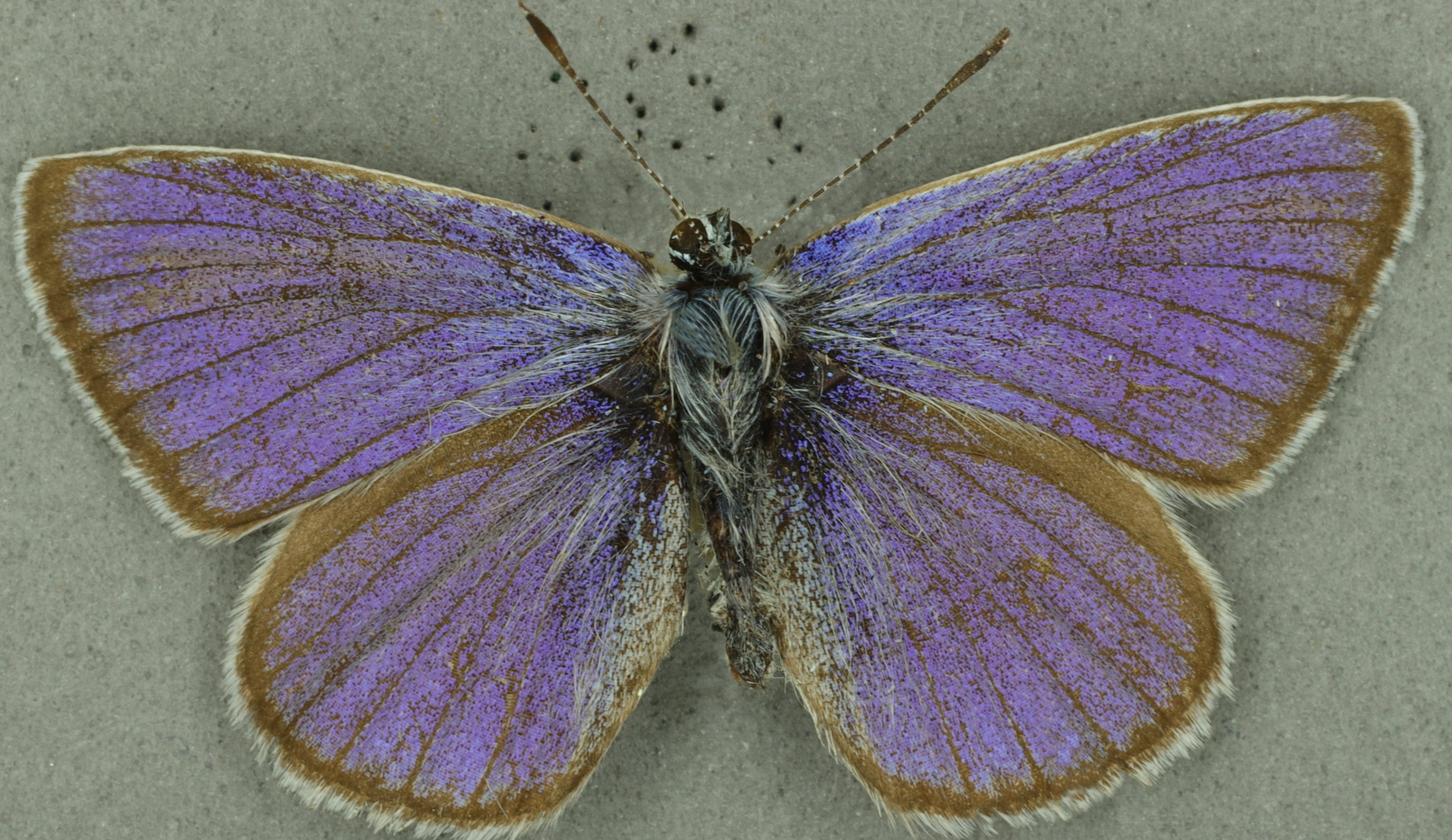 Mazarine blue male, University Museum of Zoology collection, copyright University of Cambridge