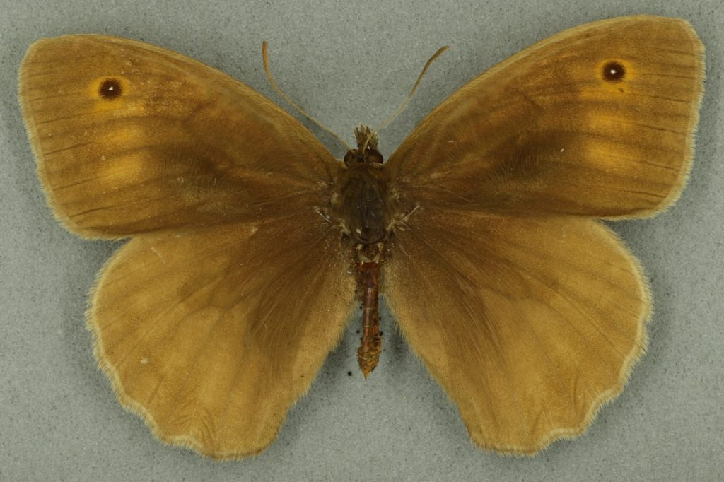Meadow brown, male. University Museum of Zoology collection. Copyright University of Cambridge