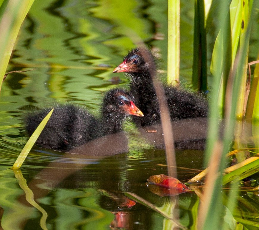 Moorhen chicks on