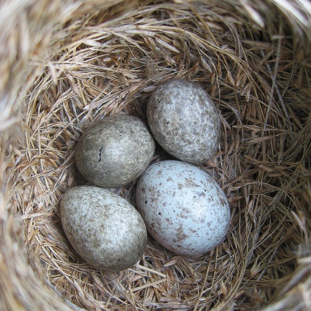 Common cuckoo, Cuculus canorus, egg in reed warbler nest, Acrocephalus scirpaceus. Credit Nick Davies