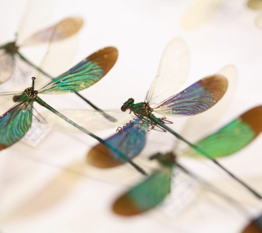 Photograph of damselfly specimens
