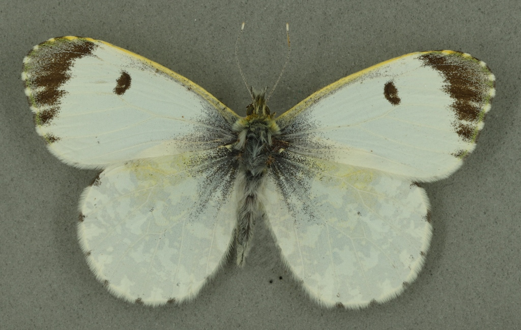 Orange tip female, University Museum of Zoology collection. Copyright University of Cambridge