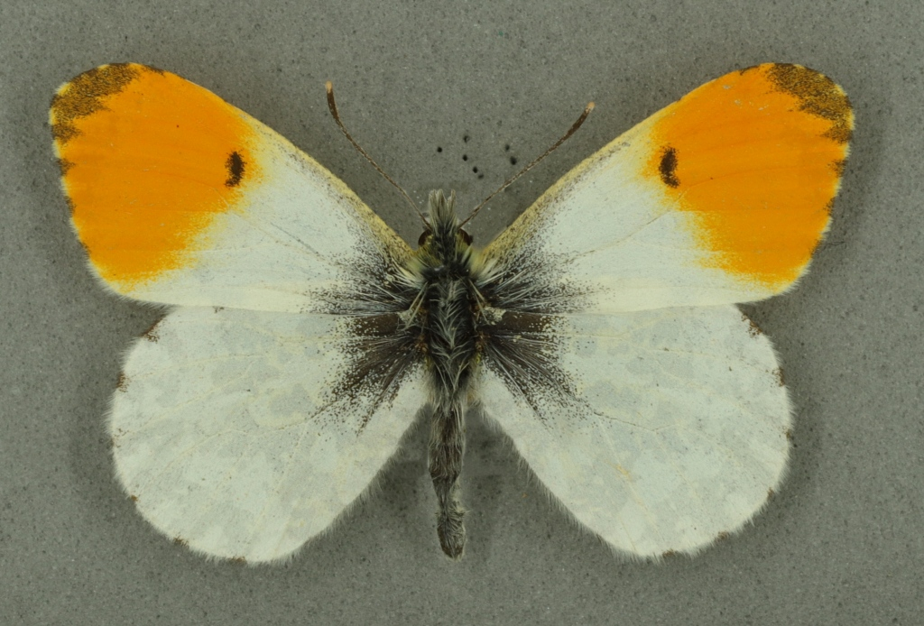 Orange tip male, University Museum of Zoology collection. Copyright University of Cambridge