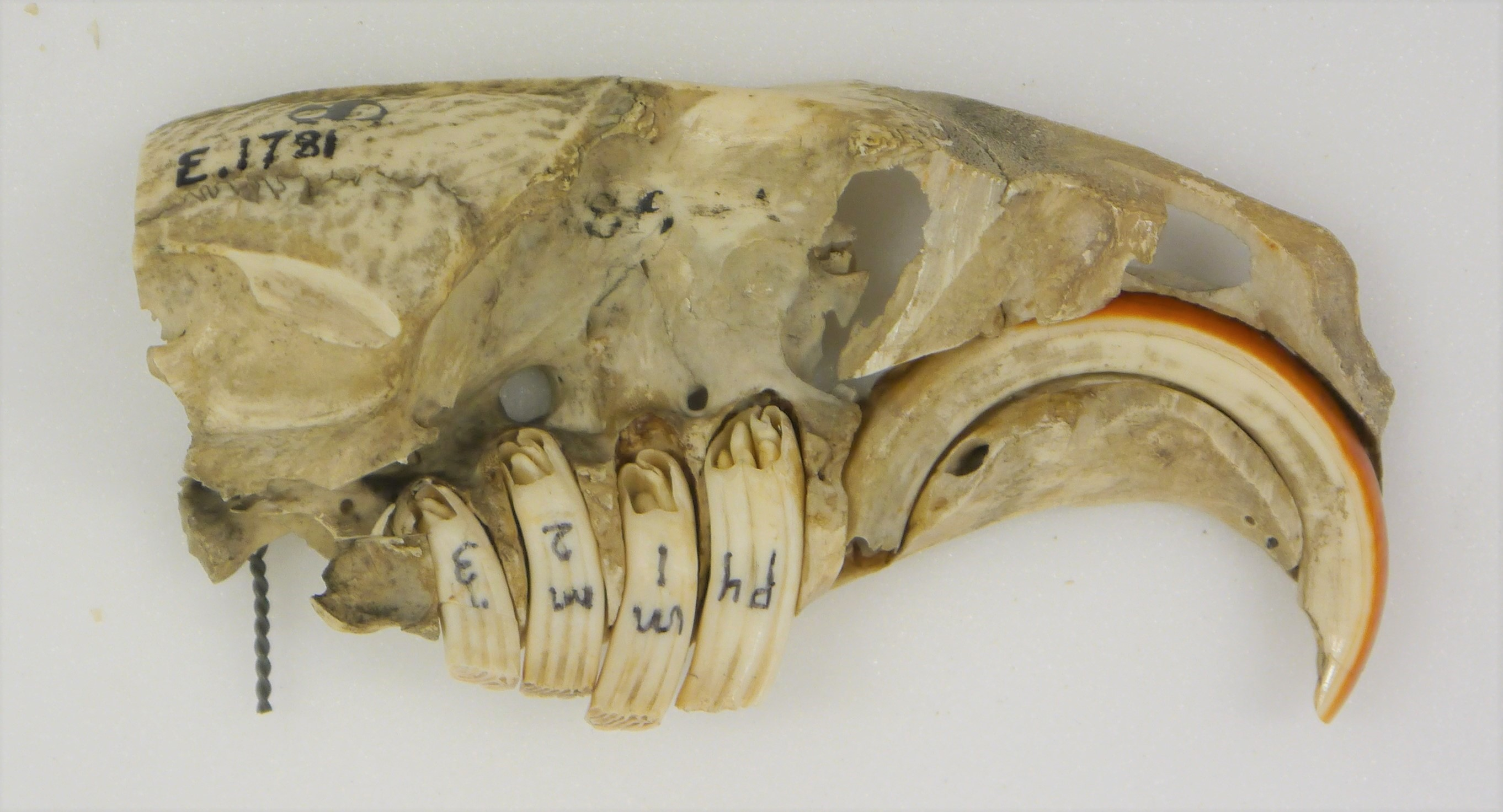 Photograph of a beaver skull showing the extent of the teeth