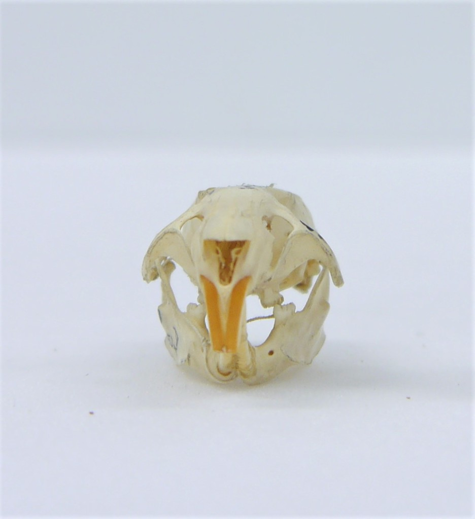 Photograph of a rat skull in front view