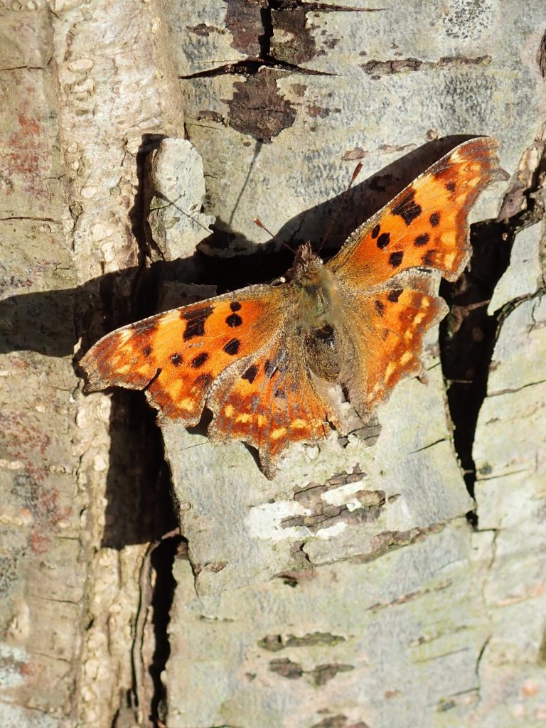 Photograph of a comma butterfly