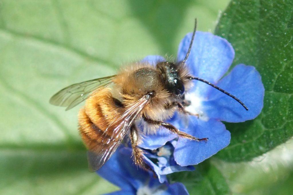 Photograph of a mason bee