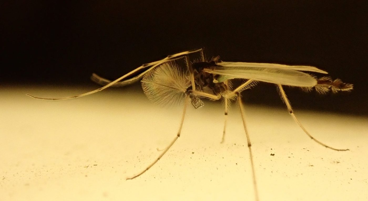 Close up photograph of a Chironomid by Prof Bill Amos