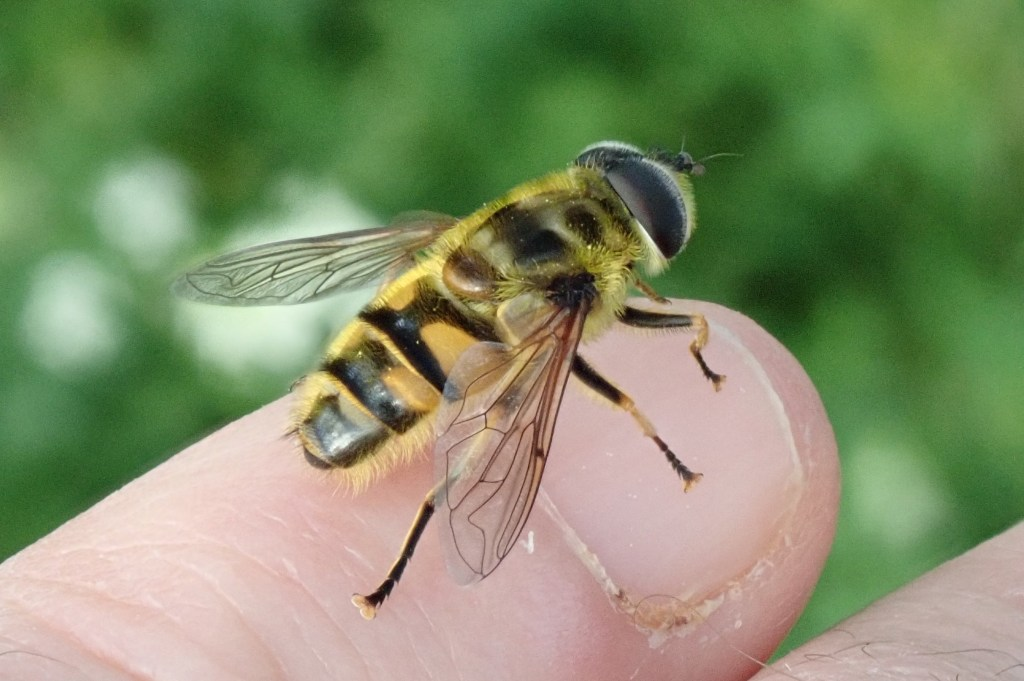 Photograph of a batman hoverfly