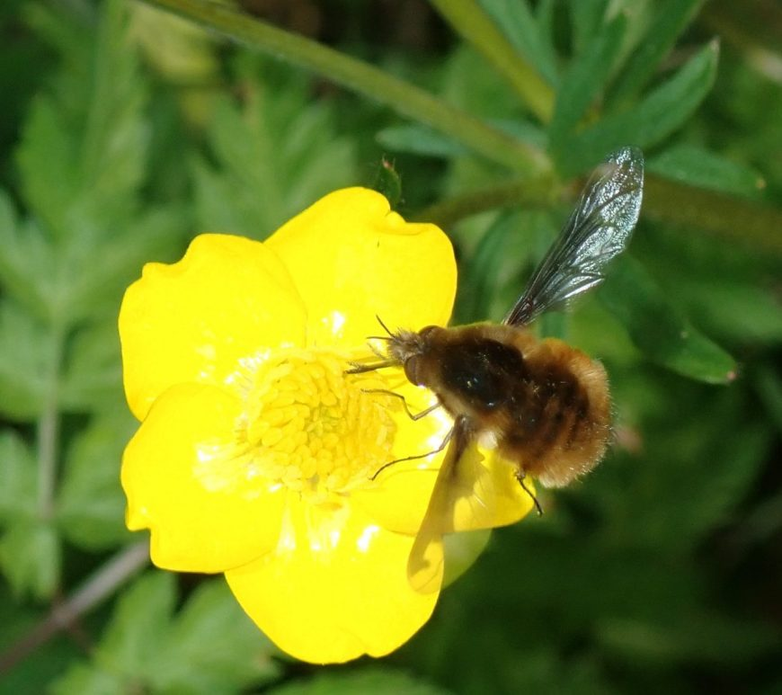 Photograph of a bee fly