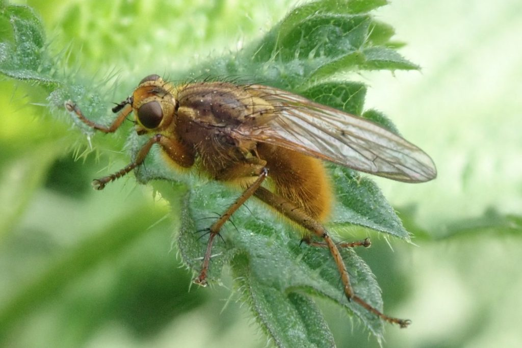 Photograph of a common dung fly