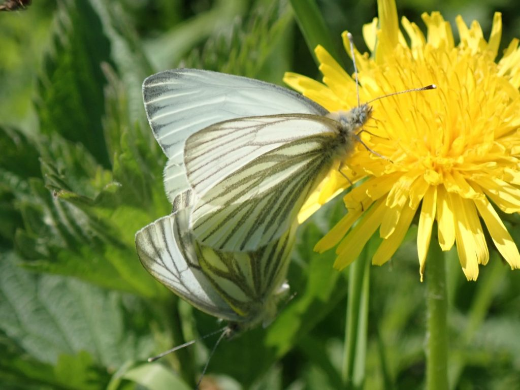Photograph of a pair of mating green-veined white butterflies