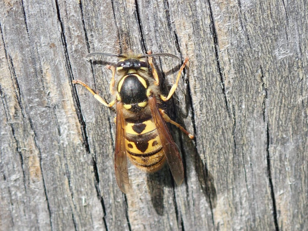 Photograph of a queen wasp
