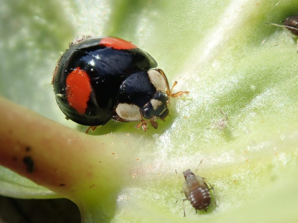 Photograph of a harlequin ladybird and an aphid