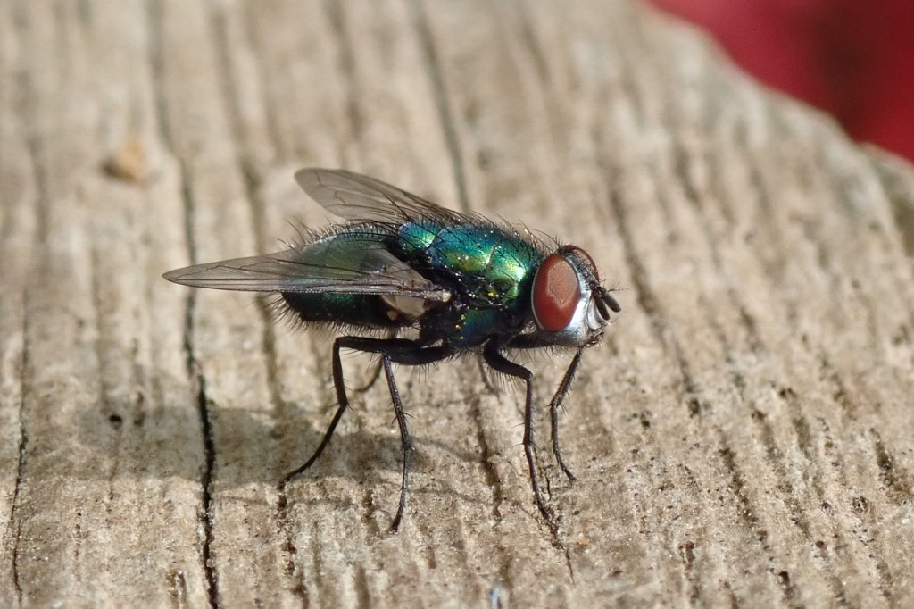 Photograph of a greenbottle fly