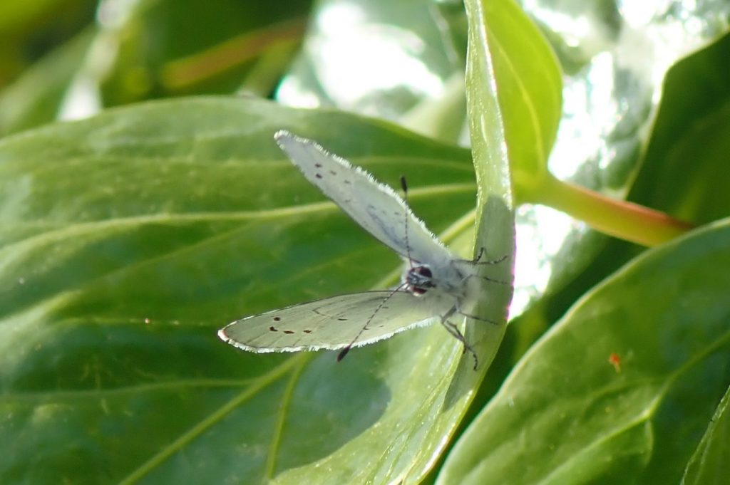 Photograph of a holly blue butterfly