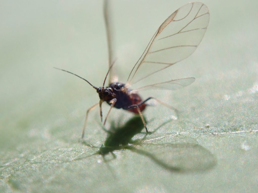 Photograph of an adult aphid about to take off.