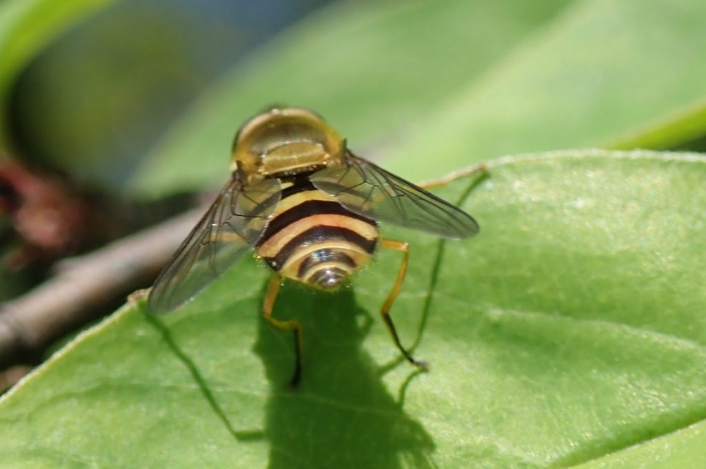 Photograph of a common hoverfly