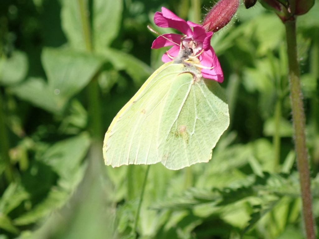 Photograph of a brimstone butterfly feeding on campion