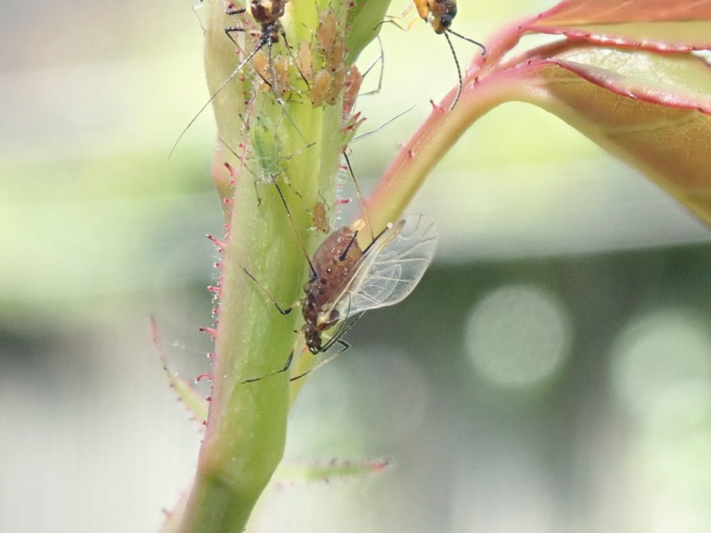 Photograph of a colony of aphids
