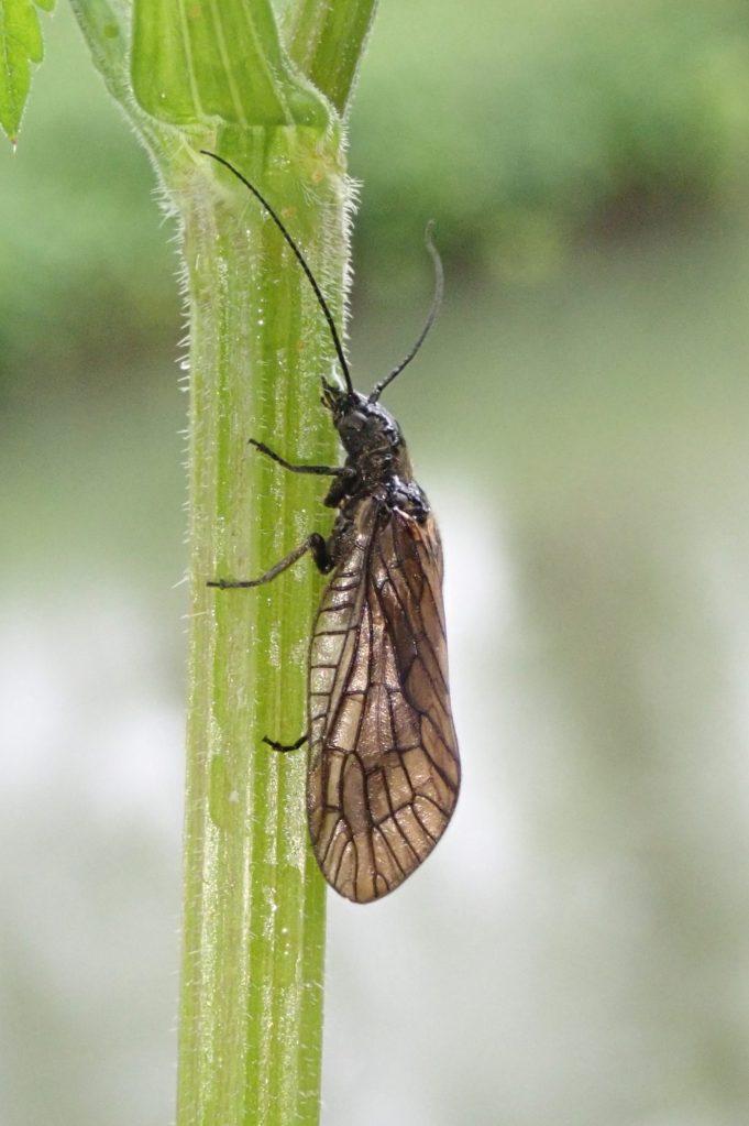 Photograph of an alder fly