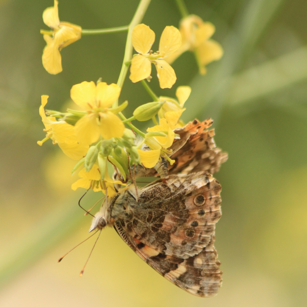 Painted lady butterfly, Vanessa cardui. Underwing view. Credit Andrew Bladon