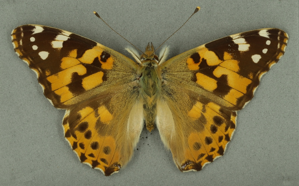 Painted lady butterfly from Museum of Zoology collection