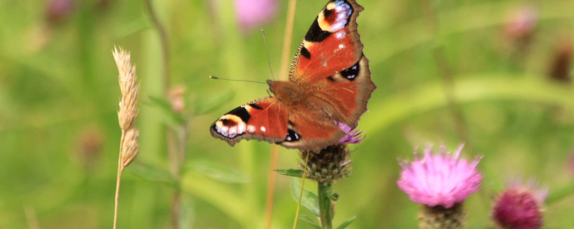 Peacock butterfly image credit Andrew Bladon
