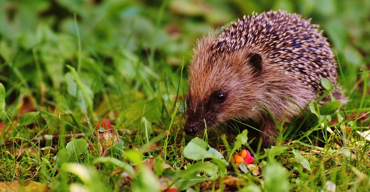 Hedgehog on grass