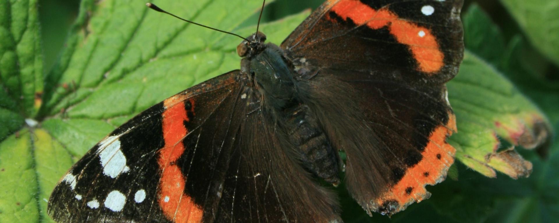 Red admiral butterfly, Vanessa atalanta. Image credit Andrew Bladon