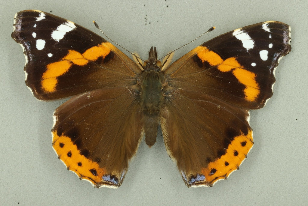 Red admiral butterfly from Museum of Zoology collection