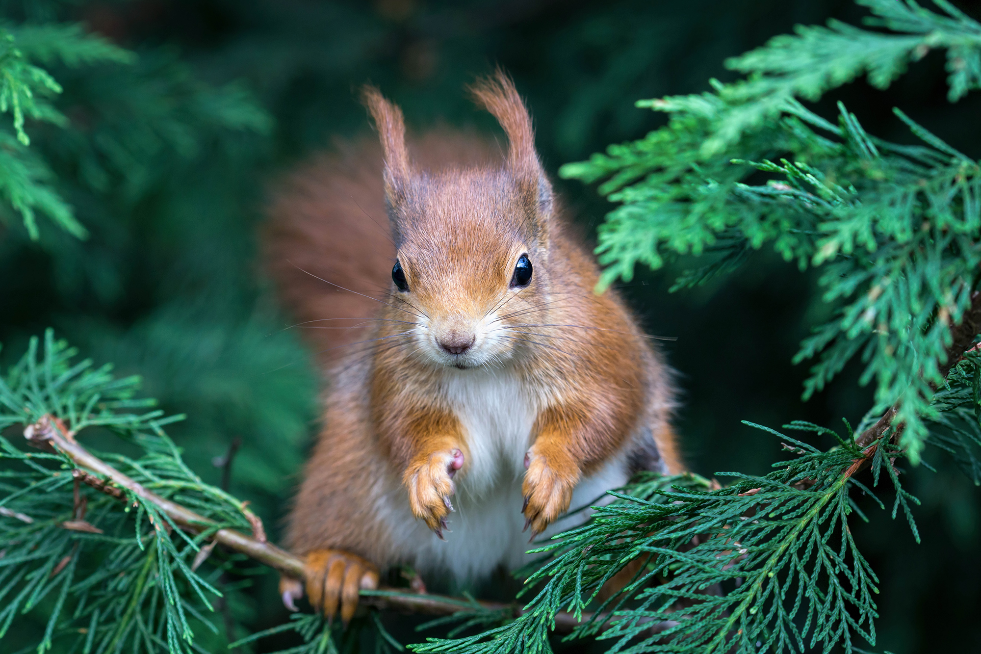 Red squirrel in a conifer