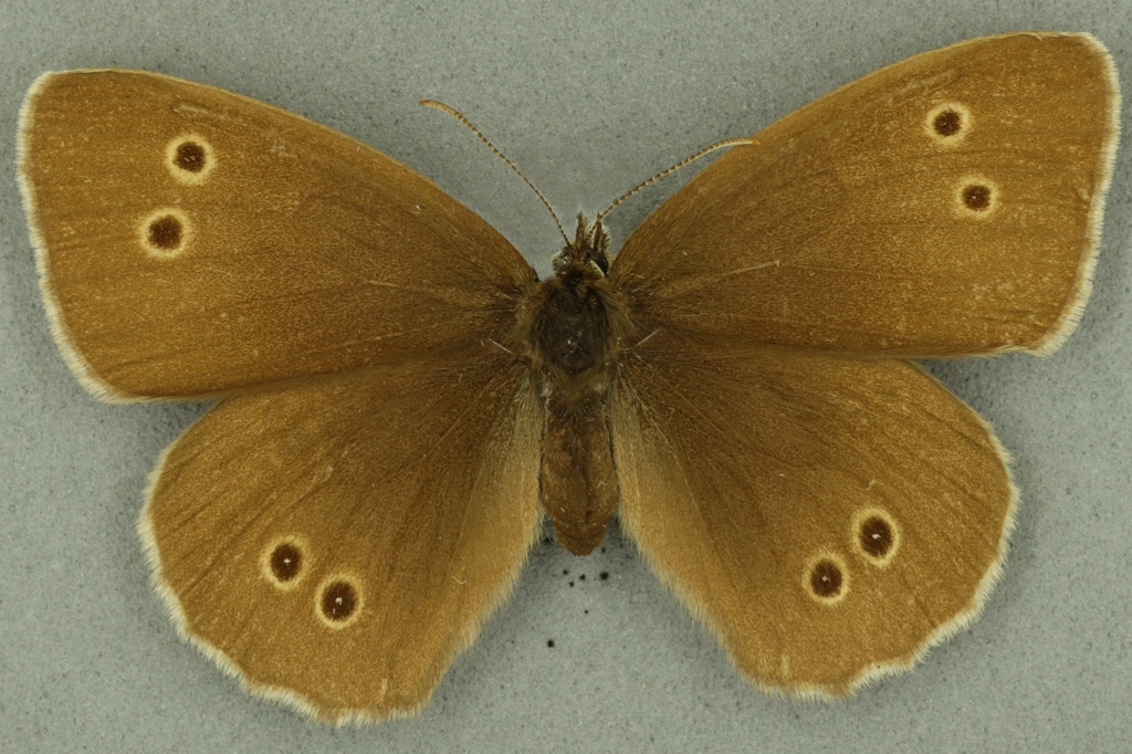 Ringlet. University Museum of Zoology collection. Copyright University of Cambridge
