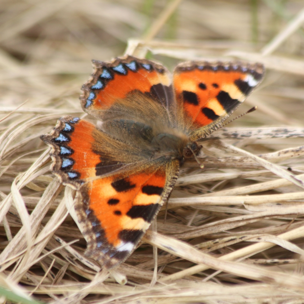Small tortoiseshell butterfly, Aglais urticae. Credit Ellie Bladon