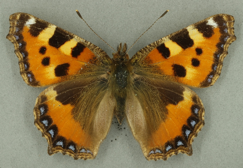 Small tortoiseshell butterfly from Museum of Zoology collection