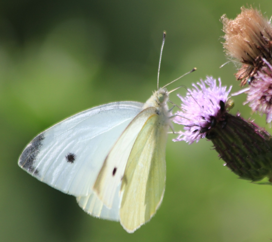 Small White feeding on flower. Credit Andrew Bladon