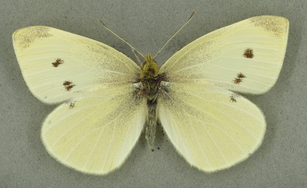 Small white, University Museum of Zoology collection. Copyright University of Cambridge