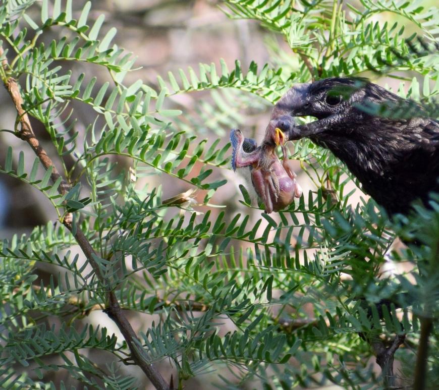 Smooth-billed ani eating chick. Credit J. Lynton-Jenkins