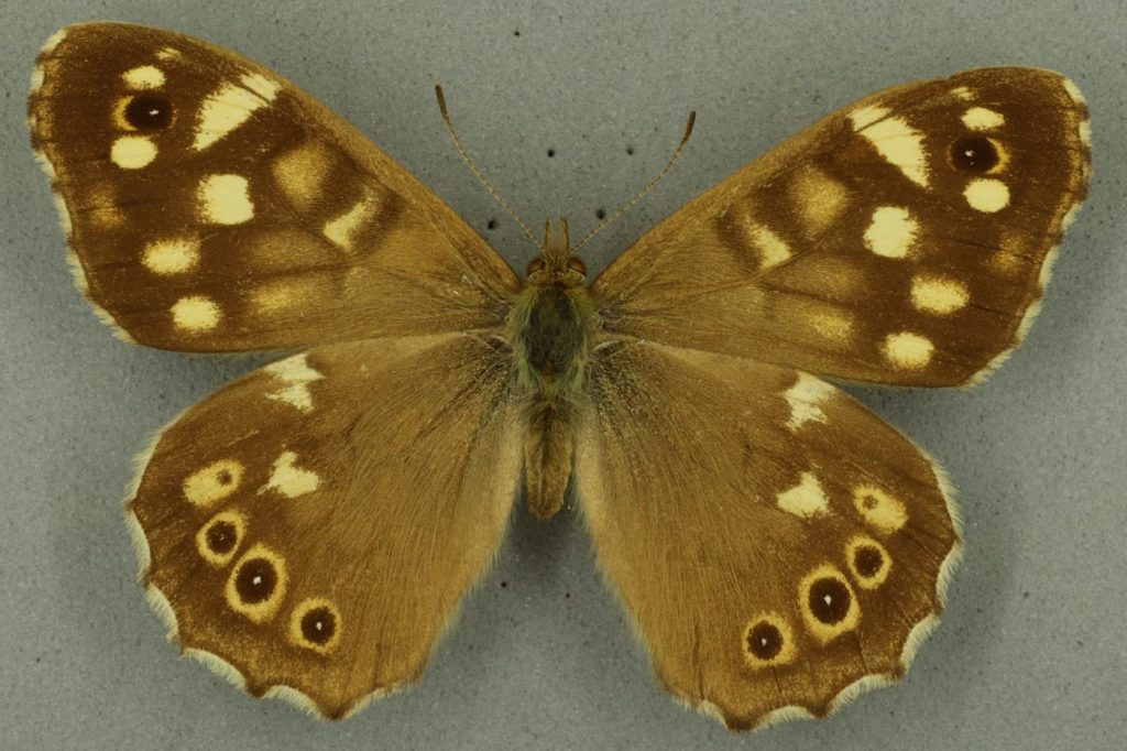 Speckled wood. University Museum of Zoology collection. Copyright University of Cambridge