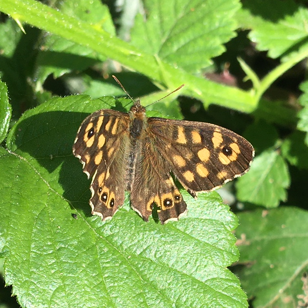 Speckled wood. Credit S Steele