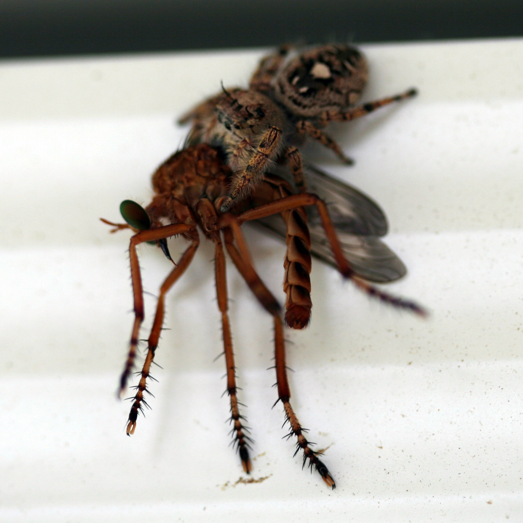 Jumping spider and mosquito