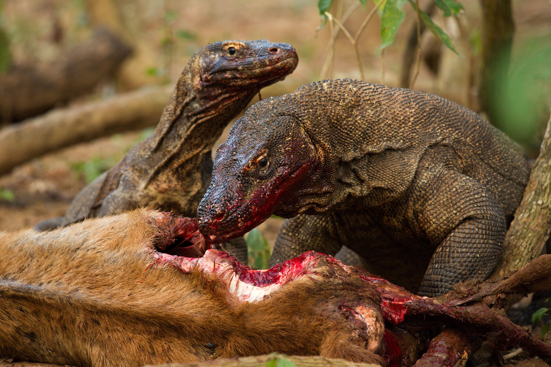 Komodo dragons eating deer, Varanus komodoensis. Image credit Nathan Rusli
