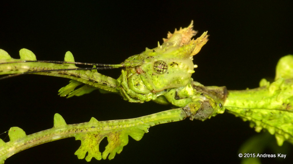 Close up photograph of a stick insect